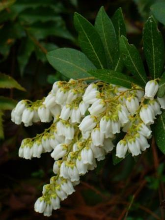 Temple bells pieris lily of the valley bush andromeda shrubs temple bells pieris lily of the valley bush andromeda shrubs trees almost eden mightylinksfo