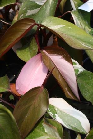 pink princess philodendron tropicals almost eden. Black Bedroom Furniture Sets. Home Design Ideas