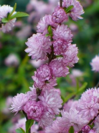 Dwarf double pink flowering almond shrubs trees almost eden mightylinksfo