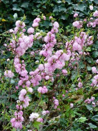 Dwarf Double Pink Flowering Almond Shrubs Amp Trees