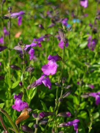 Purple Pastel Autumn Sage Cherry Sage Texas Sage Gregg