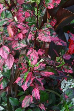 Red Hot Variegated Tropical Hibiscus Tropicals Almost Eden