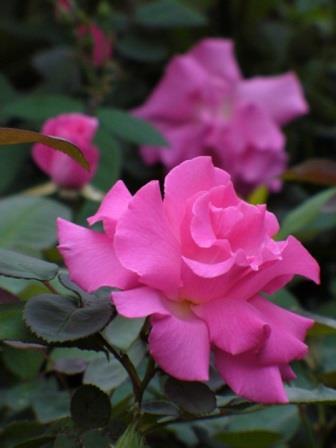 zephirine drouhin rose fragrant plants almost eden. Black Bedroom Furniture Sets. Home Design Ideas