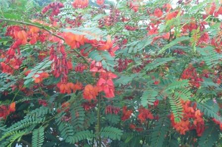 Scarlet Wisteria Red Wisteria Shrubs Amp Trees Almost Eden