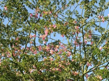 Silk floss tree kapok tree corisia almost eden mightylinksfo