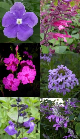 New for 2017 - Fragrant Yesterday Today and Tomorrow, Love and Wishes Salvia, Purple Prairie Verbena, Purple Autumn Sage, Mesa Azure Sage or Salvia, Purple Four O Clocks