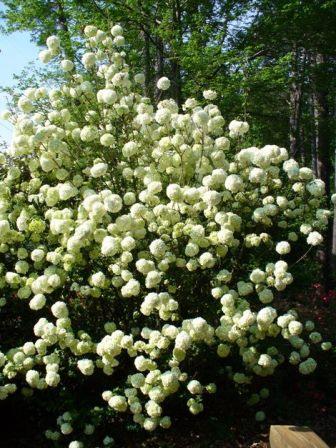 Chinese Snowball Bush Shrubs Amp Trees Almost Eden