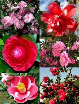 The Winter Garden - Camellias - Clockwise from top left: Pink Perplexion Sasanqua, Edna Campbell Variegated Camellia, Suzy Dirr Sasanqua, October Magic Rose Sasanqua, Kotsuya Nomura Camellia, Black Tie Camellia