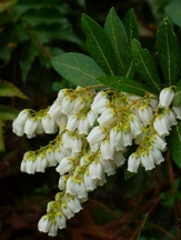 Temple Bells Pieris Lily Of The Valley Bush Andromeda Shrubs